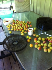 plums at rest.